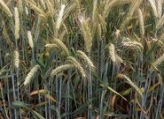 Nowe odmiany zbóż w 2018 r.