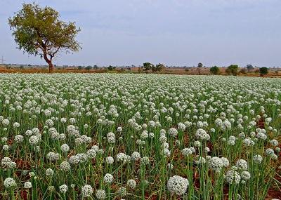 Ekologiczna uprawa cebulowatych