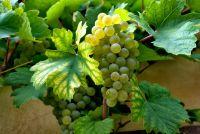 Szkolenie Profesjonalna produkcja win gronowych w małym gospodarstwie winiarskim z elementami enoturystyki