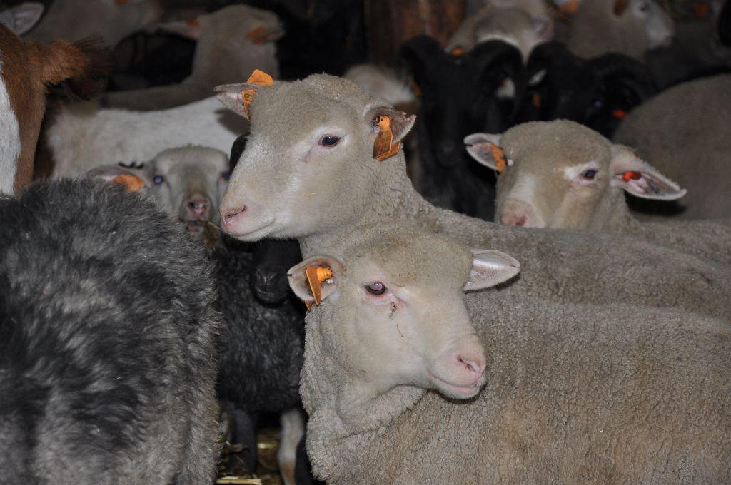 Hodowla owiec z uwzględnieniem ras rodzimych i przetwórstwa mleka